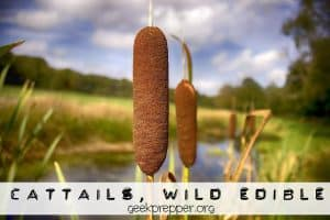 Cattails wild edible