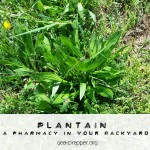 Plantain the Miracle Plant
