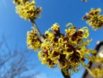 witch-hazel-244996_640